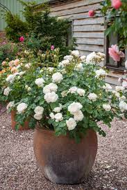 potted roses gallery plants garden