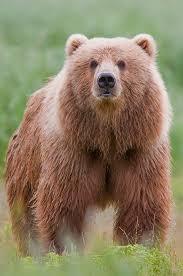Dakota Grizzly Size Chart Kodiak Bear Wikipedia