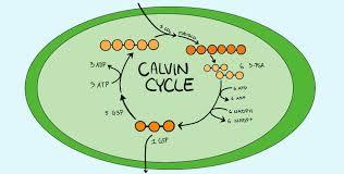 Light Cycle Photosynthesis Calvin Cycle Dark Reaction Expii