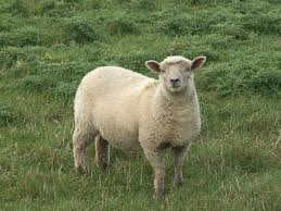 Image result for sheep