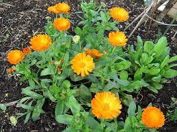 Calendula (Pot Marigold) reliably blooms into November in coastal areas.  Cut back spent