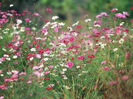 autumn flowers cosmos flower garden picture 17