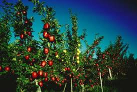 Can You Graft Different Types Of Fruit Trees Together  Home Different Fruit Trees