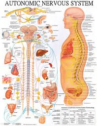Chiropractic Body Chart Nervous System Diagram Chiropractic Wellness Quotes