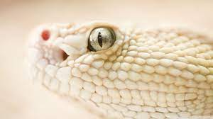 White Snake Ultra HD Desktop Background ...