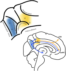 F7.large fractionating the default mode network distinct contributions of on subtracting across zeros printable directins
