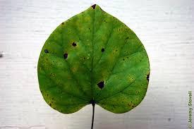 fabaceae cercis canadensis eastern redbud leaf alternate simple showing distinct heart