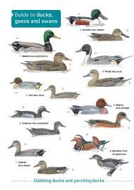 Id Chart Guide To Ducks Geese And Swans