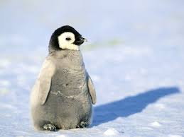 baby penguin.  Penguin Penguin Facts Types Habitat Diet Adaptations Pictures For Baby R
