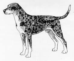 Catahoula Growth Chart Breed Standards Louisiana Catahoula Leopard Dog United