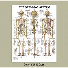 Back Talk Systems Colorado Skeletal System Anatomical