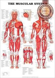 Details About New The Muscular System Anatomical Diagram Chart Muscles Print Premium Poster