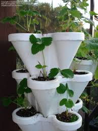 indoor tomato garden. Alternative Gardening: Lighting Question For Indoor Tomato Garden, 1 By BocaBob Garden M