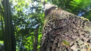 amazon rainforest tree leaves. For Amazon Rainforest Tree Leaves
