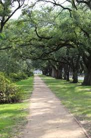 rice university campus trees. Rice University Campus Trees And Walkway With