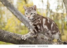 marble bengal cat. Interesting Bengal Bengal Cat On Autumn Background Seal Mink Marbled Tabby Domestic Into  Nature Inside Marble Cat I