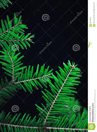 Pine Branches For Decoration Christmas Decoration Green Pine Branches On Black Background