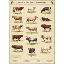 Cattle Chart Cow Chart Vintage Style Cattle Breeds Poster Decorative Paper Ephemera