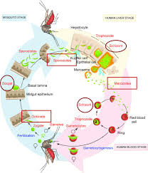 metamorphoses of malaria the role of autophagy in parasite figure