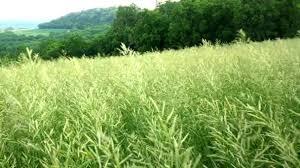 tall green grass field. Handheld Countryside Video Tall Green Grass Field Grain Rural Hill \u2014 Stock