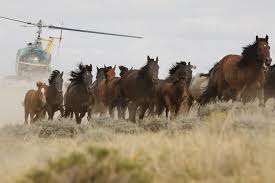 wild horses mustang running. Brilliant Mustang A Bureau Of Land Management Helicopter Swoops In To Herd Horses Great  Divide Basin Nevada And Wild Horses Mustang Running U