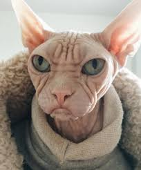 angry hairless cat. Simple Angry Loki The Grumpy Sphynx Cat 8 And Angry Hairless Cat Q