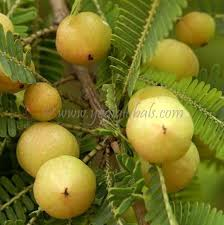 on medicinal plant amla essay on medicinal plant amla