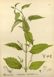 Skullcap     Scutellaria lateriflora     Herb Herbal Academy