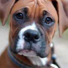 boxer dogs in indiana breed dogs picture