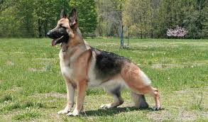 black and white spotted german shepherd. Delighful White On Black And White Spotted German Shepherd