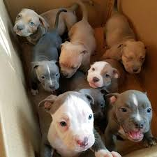 pitbull puppies. Beautiful Pitbull Box Full Of Pitt Puppies  In Pitbull Puppies