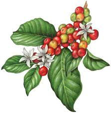coffee bean plant illustration. Wonderful Coffee Image Result For Coffee Plant Illustration With Coffee Bean Plant Illustration D