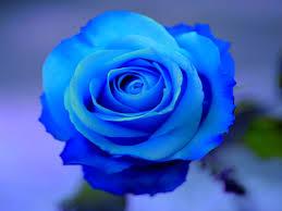 purple rose wallpaper download. Modren Rose Pics Of 1080p Purple Rose  1600x1200 Px With Wallpaper Download E