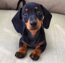 mini miniature dachshund puppies for