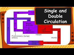 Double Circulation Flow Chart Biology Single And Double Circulation Of Blood Life Processes Part 13 English