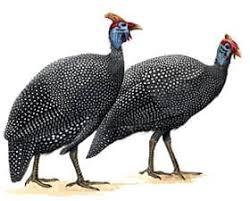 Цесарка numida meleagris разведение цесарок ареал  Цесарка numida meleagris домашняя птица общепользовательного направления родом из Западной Африки Они отличаются высоким качеством яиц и мяса