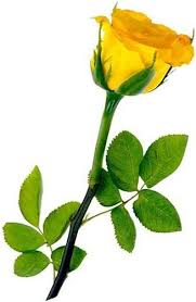 Image result for images of rose hd yellow