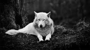 white wolf wallpaper 1920x1080. Plain White 1920x1080 White Wolf Wallpaper On Wolf Cave