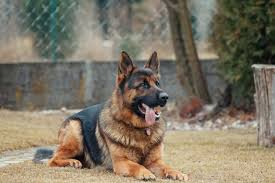 Gsd Weight Chart Kg The German Shepherd Life Span Updated Doggiefetch