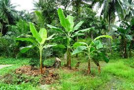 Hasil gambar untuk gambar bonggol batang pohon pisang