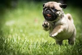 pug puppy wallpaper. Exellent Puppy Wallpaper Pug Puppy Dogs Run Food Grass Running With V