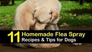 homemade flea spray recipes for dogs 11 tips and tricks for flea prevention