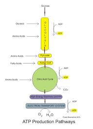 best glucose metabolisme images biochemistry  glucose metabolism diagram medical physiology basic biochemistry sugars wikibooks high school