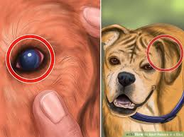 how to spot rabies in a dog steps pictures wikihow image titled spot rabies in a dog step 7