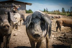 Image result for lunar new year pig