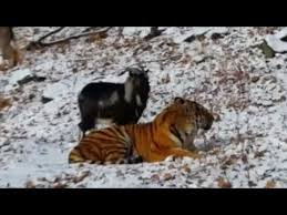 Goat Becomes Best Friends With <b>Tiger</b> Who Was Supposed to Eat It ...