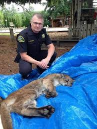 Fish And Wildlife Officials Tranquilize A Cougar In South Thurston