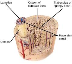 bone tissue structure of bones biology for majors ii