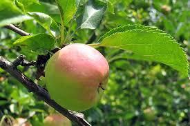 19 best apple tree varieties with a