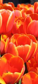 Orange tulips, beautiful flowers ...